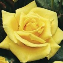 Rosier \'Landora\' ®sunblest, buisson caduc au feuillage vert sombre et aux fleurs jaune au printemps.
