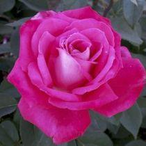 Rosier \'Lolita Lempicka\' ® meizincaro, buisson caduc au feuillage vert foncé et aux fruits rose magenta au printemps.