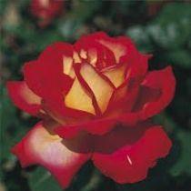 Rosier \'Mme Dieudonné\', buisson caduc au feuillage vert foncé et aux fleurs rouge feu au printemps.