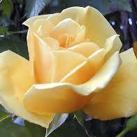 Rosier \'Mme P S Dupont\', buisson caduc au feuillage vert foncé et aux fleurs jaune au printemps.