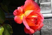 Rosier \'Parfum de Grasse\' ®adavorjap