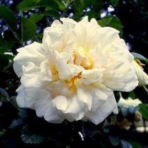 Rosier ancien \'Agnès\', arbuste au feuillage caduc sombre et aux fleurs blanche au printemps.