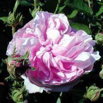 Rosier ancien \'Blush Noisette\', arbuste au feuillage caduc vert et aux fleurs rose tendre au reflet lilas et blanc en été.