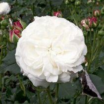 Rosier ancien \'Boule de Neige\', arbuste au feuillage caduc vert foncé et aux fleurs blanc crème en été.