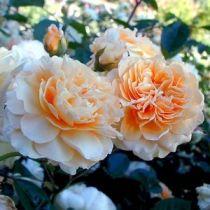 Rosier ancien \'Buff Beauty\', arbuste au feuillage caduc vert foncé et aux fleurs orangé en été.
