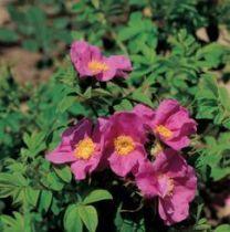 Rosier ancien \'Calocarpa\', arbuste au feuillage caduc vert et aux fleurs rose au printemps.