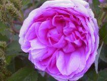 Rosier ancien \'Chapeau de Napoléon\', arbuste au feuillage caduc vert et aux fleurs rose vif en été.