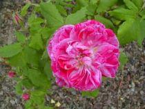 Rosier ancien \'Commandant Beaurepaire\', arbuste au feuillage semi-persistant vert et aux fleurs rose strié de pourpre en été.
