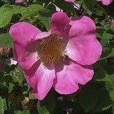 Rosier ancien \'Complicata\', arbuste au feuillage caduc vert et aux fleurs rose au printemps.