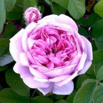 Rosier ancien \'Comte de Chambord\', arbuste au feuillage caduc vert et aux fleurs rose pourpré en été.