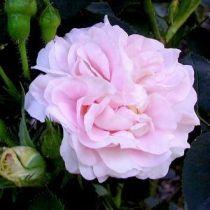 Rosier ancien \'Cuisse de Nymphe\', arbuste au feuillage caduc gris-vert et aux fleurs rose avec un pourtour blanc clair au printemps.