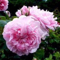 Rosier ancien \'Fantin latour\', arbuste au feuillage caduc vert et aux fleurs rose au printemps.