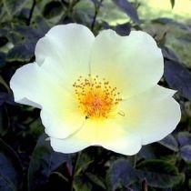 Rosier ancien \'Golden Wings\', arbuste au feuillage caduc vert et aux fleurs jaune et ocre en été.