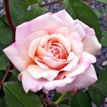 Rosier ancien \'Gruss an Aachen\', arbuste au feuillage caduc vert et aux fleurs rose saumoné clair en été.
