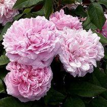 Rosier ancien \'Jacques Cartier\', arbuste au feuillage caduc vert et aux fleurs rose clair en été.