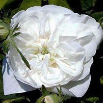 Rosier ancien \'Madame Hardy\', arbuste au feuillage caduc vert et aux fleurs blanche en été.