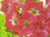 Rosier ancien \'Merveille des Rouges\', arbuste au feuillage caduc vert et aux fleurs rouge en été.
