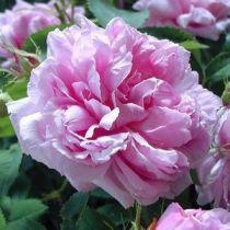 Rosier ancien \'Miranda\', arbuste au feuillage caduc vert et aux fleurs rose satiné en été.
