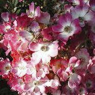 Rosier ancien \'Mozart\', arbuste au feuillage caduc  vert et aux fleurs rose au coeur blanche en été.