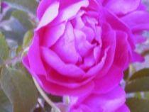 Rosier ancien \'Mrs Anthony Waterer\', arbuste au feuillage caduc vert et aux fleurs rouge foncé en été.