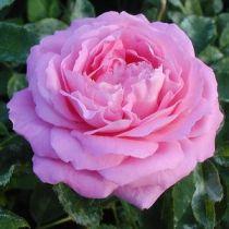 Rosier ancien \'Mrs John Laing\', arbuste au feuillage caduc vert et aux fleurs rose carminé en été.