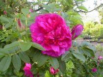 Rosier ancien \'Parfum de l\'Hay\', arbuste au feuillage caduc vert et aux fleurs rouge pourpre lilacé en été.