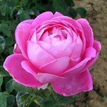 Rosier ancien \'Paul Neyron\', arbuste au feuillage caduc vert et aux fleurs rose foncé en été.