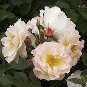 Rosier ancien \'Penelope\', arbuste au feuillage caduc vert et aux fleurs blanc rosé en été.