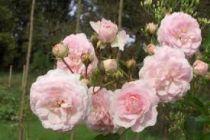 Rosier ancien \'Pink Prosperity\'
