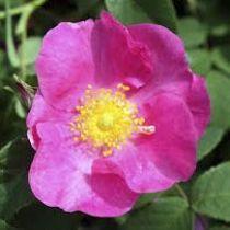 Rosier ancien \'Rosa Galica Officinalis\', arbuste au feuillage caduc vert et aux fleurs rouge carminé en été.