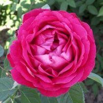 Rosier ancien \'Ulwrich Brunner\', arbuste au feuillage caduc vert et aux fleurs rouge carminé en été.