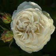 Rosier anglais Austin \'Claire Austin\' ®ausprior, arbuste au feuillage caduc vert et aux fleurs blanc crème au printemps.