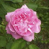 Rosier anglais Austin \'Cottage Rose\' ®ausglisten, arbuste au feuillage caduc vert et aux fleurs rose en été.