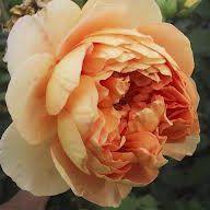 Rosier anglais Austin \'Crown Princess Margareta\' ®auswinter, arbuste au feuillage caduc vert foncé et aux fleurs abricot orangé au printemps.