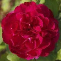 Rosier anglais Austin \'Darcey Bussel\' ®ausdescorum, arbuste au feuille caduc vert foncé et aux fleurs rouge au printemps.