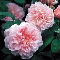 Rosier anglais Austin \'Eglantyne\' ®ausmak, arbuste au feuillage caduc vert foncé et aux fleurs rose tendre en été.