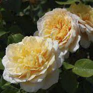 Rosier anglais Austin \'English Garden\' ®ausbuff, arbuste au feuillage caduc vert foncé et aux fleurs jaune abricot et au coeur tirant sur le blanc cassé en été.