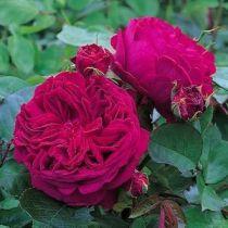 Rosier anglais Austin \'Falstaff\' ®Ausverse, arbuste au feuillage caduc vert foncé et aux fleurs rouge cramoisi pourpré au printemps.