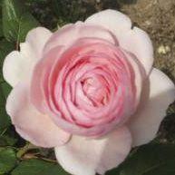 Rosier anglais Austin \'Geoff Hamilton\' ®ausham, arbuste au feuillage caduc vert foncé et aux fleurs rose tendre en été.