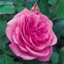 Rosier anglais Austin \'Gertrude Jekyll\' ®ausboard, arbuste au feuillage caduc vert foncé et aux fleurs rose en été.