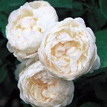 Rosier anglais Austin \'Glamis Castle\' ®auslevel, arbuste au feuillage caduc vert foncé et aux fleur blanche en été.