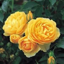 Rosier anglais Austin \'Graham Thomas\' ®ausmas, arbuste au feuillage caduc vert foncé et aux fleurs jaune en été.