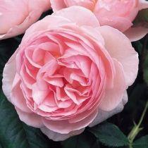 Rosier anglais Austin \'Heritage\' ®ausblush, arbuste au feuillage caduc vert foncé et aux fleurs rose tendre en été.
