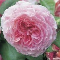 Rosier anglais Austin \'James Galway\' ®auscrystal, arbuste au feuillage caduc vert foncé et aux fleurs rose soutenu et rose clair au printemps.