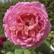 Rosier anglais Austin \'Jubilee Celebration\' ®aushunter, arbuste au fauillage caduc vert foncé et aux fleurs rose saumon au printemps.