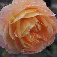 Rosier anglais Austin \'Lady Emma Hamilton\' ®ausbrother, arbuste au feuillage caduc vert foncé et aux fleurs abricot cuivré puis rosé au printemps.