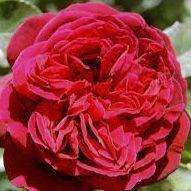 Rosier anglais Austin \'L.D. Braithwaite\' ®auscrim, arbuste au feuillage caduc vert foncé et aux fleurs rouge vif en été.