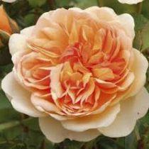 Rosier anglais Austin \'Port Sunlight\' ®auslofty, arbuste au feuillage caduc vert foncé et aux fleurs abricot au printemps.