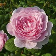 Rosier anglais Austin \'Princess Alexandra of Kent\' ®ausmerchant, arbuste au feuillage caduc vert foncé et aux fleurs rose au printemps.