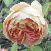 Rosier anglais Austin \'Sainte Cecilia\' ®ausmit, arbuste au feuillage caduc vert foncé et aux fleurs abricot et blanc au printemps.